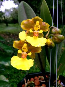 ¿Qué son las orquídeas?