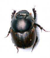 El escarabajo africano, ¿migrante o invasor?