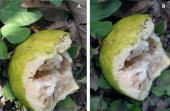 Complementariedad de agentes de control biológico: el caso de las moscas de la fruta