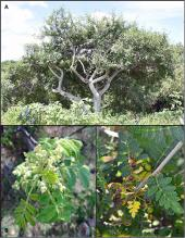 Una nueva mirada a la hibridación en árboles de copal