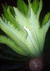 Dioon edule Lindl. en Monte Oscuro, Veracruz