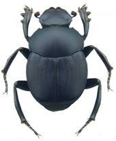 La cría de escarabajos estercoleros en áreas ganaderas de Veracruz, como respuesta al efecto económico de la Ivermectina aplicada al ganado