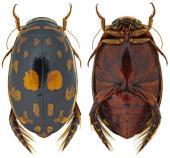 Los escarabajos del agua