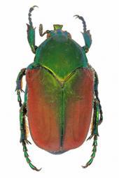 El escarabajo arqueológico, el azar y la necesidad