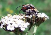 Los escarabajos frailecillos