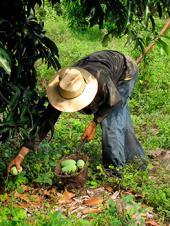 Recubrimientos a base de quitosano una opción para el mango Manila en Veracruz