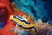 Nudibranquios: Criaturas de fantasía
