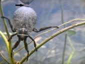Respirar bajo el agua: insectos