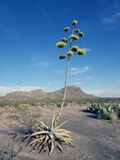 ¿Cómo vive el venado bura en el desierto?